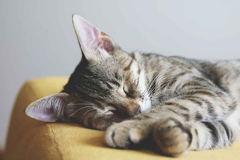 close up photography of gray tabby cat sleeping on yellow textile